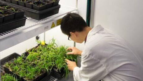 BCIT-short-plant-growth-cabinet-setaria 1