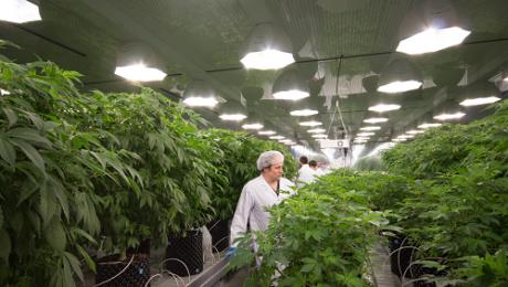 abcann-cannabis-mother-room