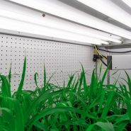 BCIT-plant-growth-chamber-setaria 1