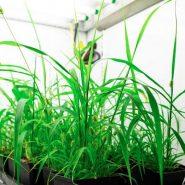 BCIT-plant-growth-chamber-setaria