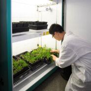 BCIT-short-plant-growth-cabinet-setaria 2