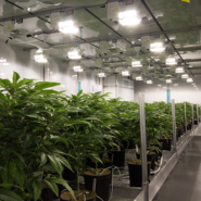 abcann-cannabis-flower-room 21