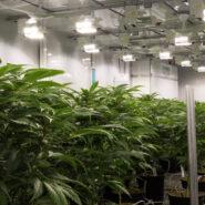 abcann-cannabis-flower-room 4