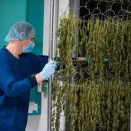 atlanticann-cannabis-drying-room 4