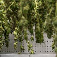 atlanticann-cannabis-drying-room 9