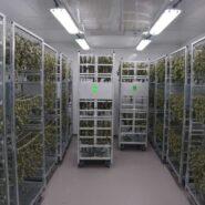 cannabis-drying-room-1