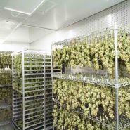 cannabis-drying-room 30