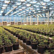 cannabis-greenhouse-argus-control-system 1