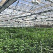 cannabis-greenhouse-argus-control-system