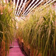 plant-growth-room-bdw-rice 11