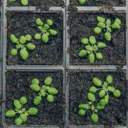 sheffield-university-arabidopsis