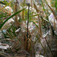 sheffield-university-plant-growth-rice 1