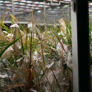 sheffield-university-plant-growth-rice 2