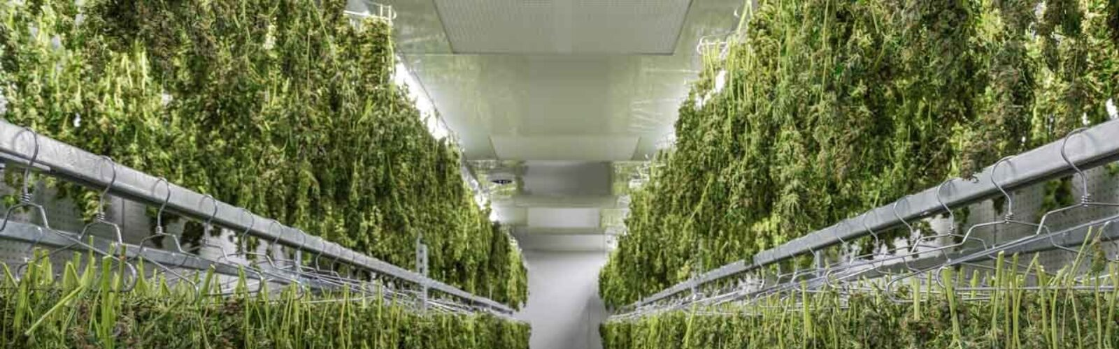 atlanticann-cannabis-drying-room 5