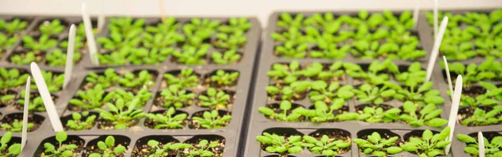 arabidopsis-research