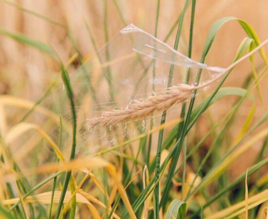sheffield-university-wheat