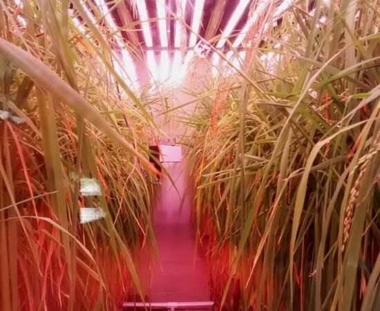 plant-growth-room-bdw-rice