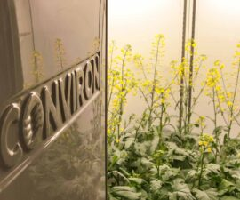 plant-growth-chamber-canola 1
