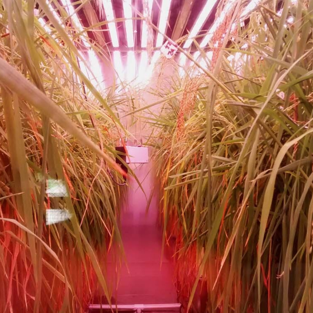 plant-growth-room-bdw-rice 2