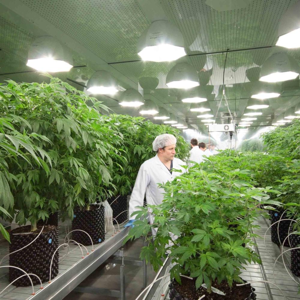 abcann-cannabis-mother-room 5