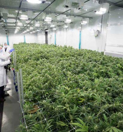 cannabis-flower-room 1