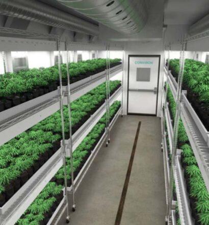 cannabis-veg-room 1