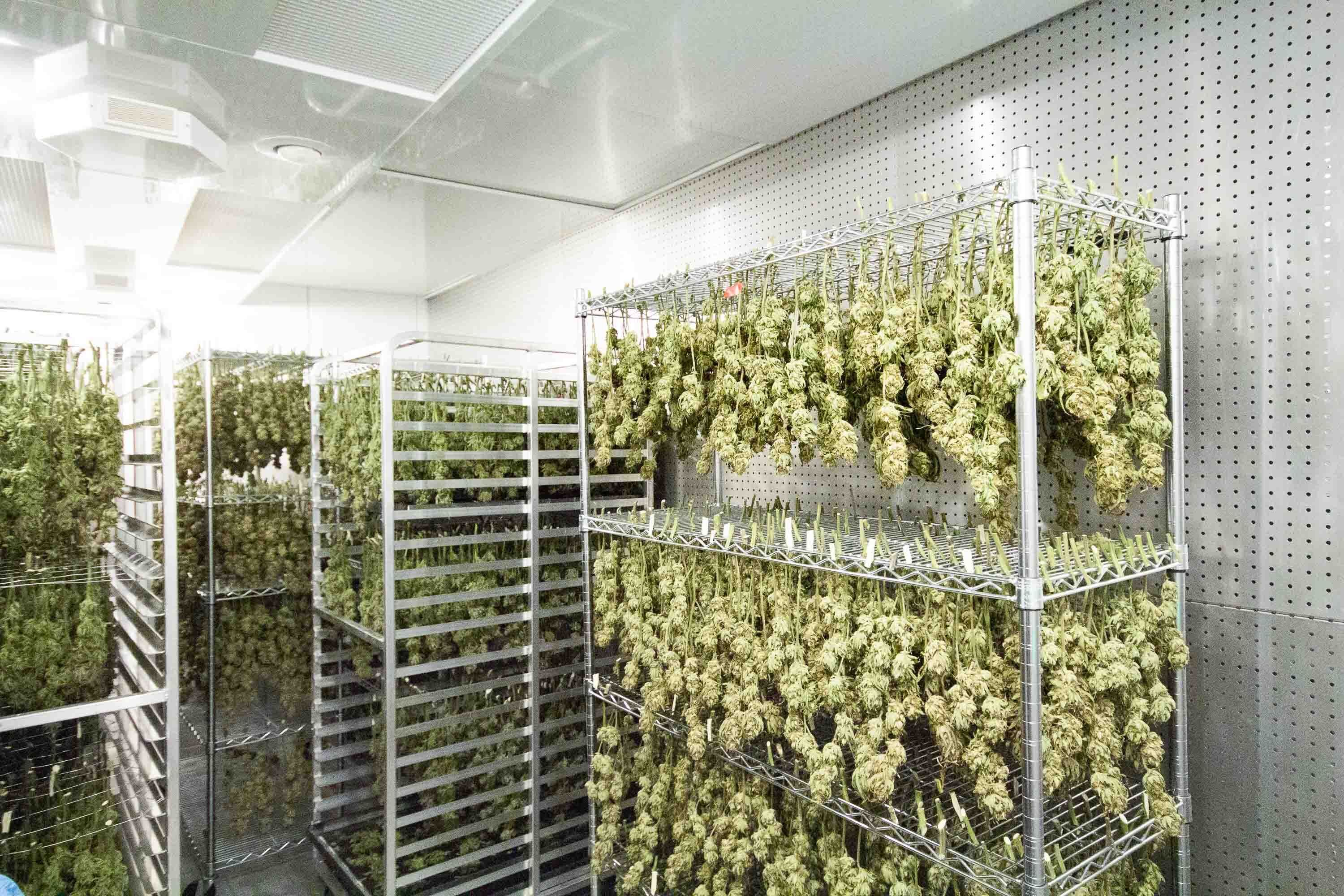 Cannabis Drying Rooms